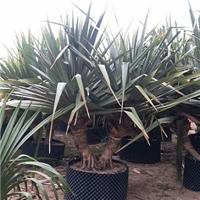 园林景区盆栽小乔木红刺林投 物美价廉厂