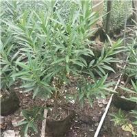 常绿直立大灌木夹竹桃 物美价廉夹竹桃
