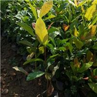 盆栽地栽绿色植物龙船花 物美价廉龙船花