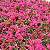福建地区特色观赏绿化植物小苗三角梅