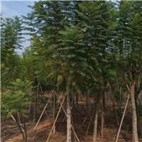 行道园林常绿风景绿化树蓝花楹 物美价廉