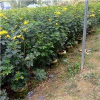 常绿草本植物黄花双荚槐 漳州基地常年有售