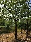 行道风景绿化树木棉 漳州基地常年大量供应