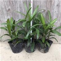 阳台观赏型绿化植物棕竹 物美价廉棕竹