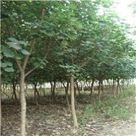 行道常绿风景绿化树黄瑾 多规格特价供应厂