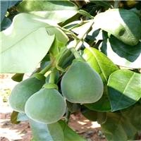 泰国红宝石青柚苗价格-青柚树苗