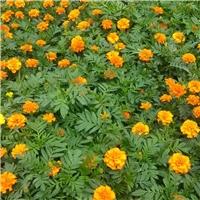 盆栽观赏花卉孔雀草 物美价廉孔雀草