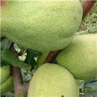 皱皮木瓜苗,光皮木瓜苗,木瓜种子,木瓜干