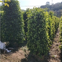 优质盆栽观赏树种垂叶榕 优质垂叶榕