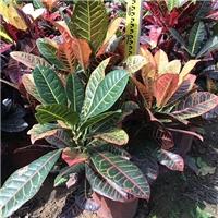 彩叶盆栽观赏植物变叶木 物美价廉变叶木厂