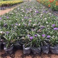 会开花常绿地被植物蓝花莉 物美价廉
