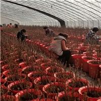 芍药盆栽、菏泽多禾温室芍药