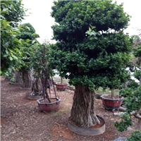 精品园林景区造景绿化树小叶榕 特价供应