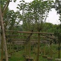 精选落叶型行道风景树木芙蓉 特价供应