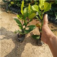 花期长易种植园林常绿地被植物龙船花