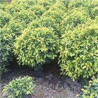 成活率极高盆栽修剪绿化植物黄金榕球