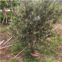 出售耐修剪盆栽高温绿化植物美花红千层厂