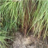 地径1-3公分湿地松