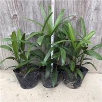 园林摆放盆栽绿化植物棕竹种植基地常年有售