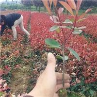 成活率极高绿化地被植物红叶石楠 量大从优