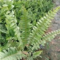 精选园林常用护坡绿化地被植物排骨草