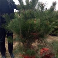 供应2米油松树苗、山西油松基地