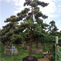 景区种植松柏类风景绿化树罗汉松 规格齐全