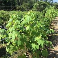 丛生落叶灌木木芙蓉小苗漳州大量供应