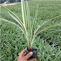 多年生常绿草本地被植物山管兰 大量供应厂