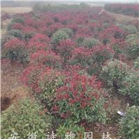 低价出售1米红叶石楠球,1米2红叶石