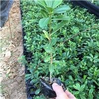 常绿灌木海桐 漳州基地常年大量供应