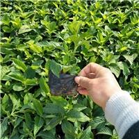 会开花绿化地被植物大花芦莉 物美价廉厂