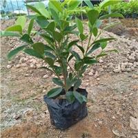 高度齐全绿化植物黄金榕袋苗 物美价廉厂