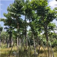 精品行道风景绿化树大叶紫薇 多规格供应厂