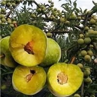 李子苗价格李子苗品种蜂糖李子苗基地批发