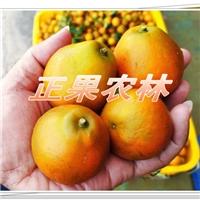 广东能种脆蜜金桔吗