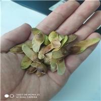 辽宁省铁岭市五角枫种子