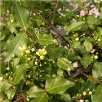 今年新�� 卫矛种子 货源可靠 芽率高