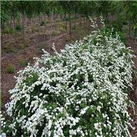 出售 珍珠绣线菊种子 厂家批发价格