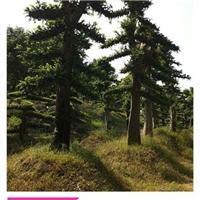 浏阳造型榆树价格-柏加榆树苗木直销找张总