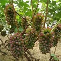 吉林郁金香葡萄苗价格优惠茉莉香葡萄苗栽培