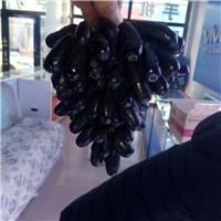 甜蜜蓝宝石葡萄苗新品种产量高无核易成活