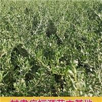 供应白刺―甘肃1年生白刺树苗育苗基地