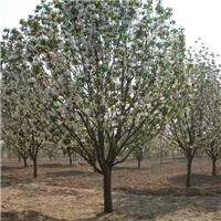 八棱海棠树 东茂日盛八棱海棠苗木基地