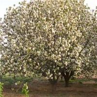 18公分八棱海棠树价格20公分八棱海棠价格