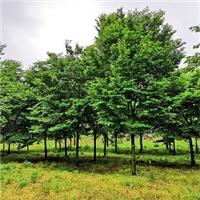 3公分榉树上车价 4公分榉树上车价供应榉树