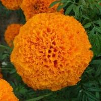 供应色素万寿菊种子