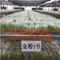 广西钦州市香蕉苗西贡粉蕉苗培育基地