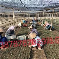 广西南宁市(兴旺)香蕉苗粉蕉苗组培公司