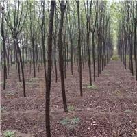 苗圃直销西湖垂柳/优质柳树